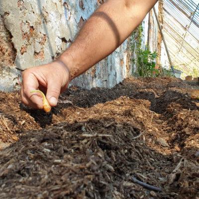 planter oignons